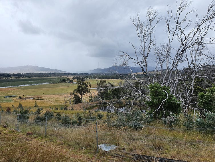 A dead-looking gum tree on agricultural land