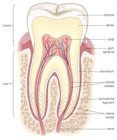 cross-section diagram of a human tooth