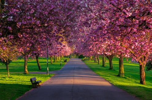 A pathway through a public park with two columns of pink cherry trees in blossom