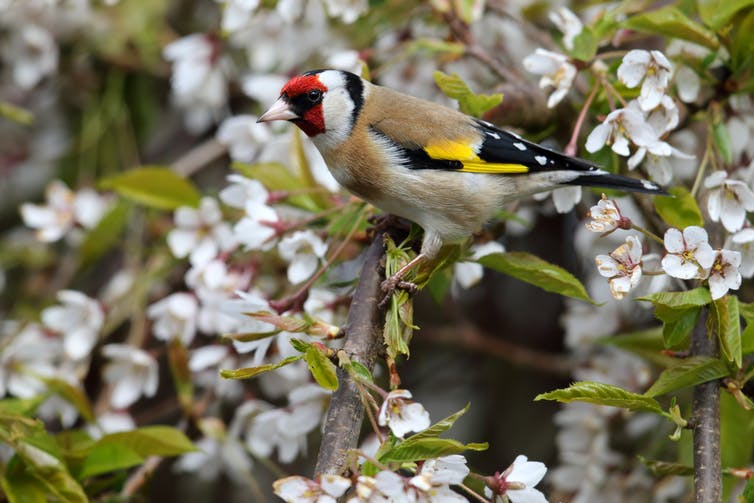 A goldfinch sitting in a cherry tree in full blossom with white flowers.