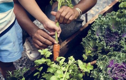 Hands pulling a carrot from a garden.