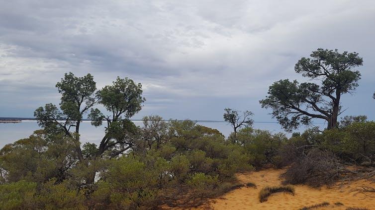 _Callitris_ trees overlooking a salt lake