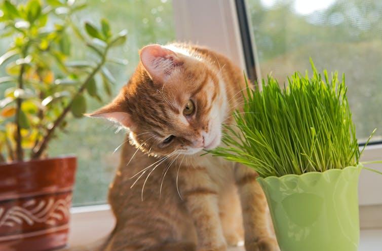 A cat sniffing fresh catnip.