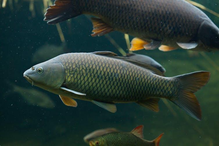 Common carp in the wild