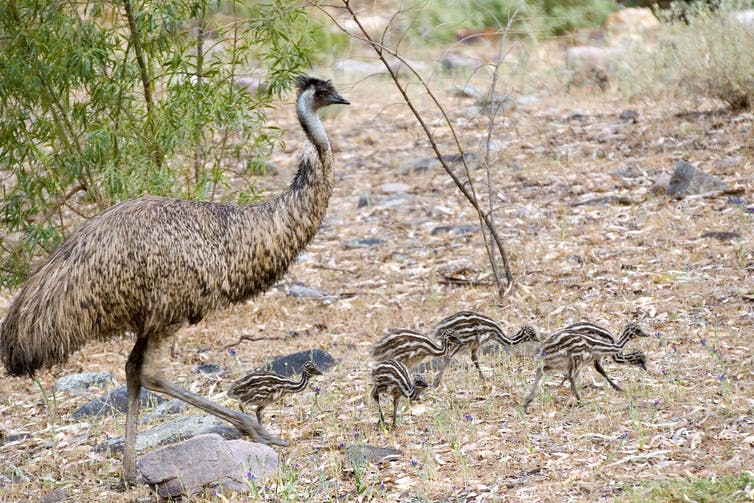 Emu with stripy chicks