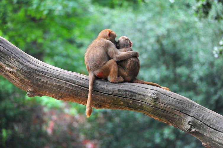 Two monkeys hugging on a tree branch