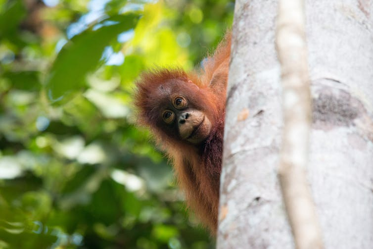 A baby orangutan peeping out from behind a tree in a rainforest in Borneo.