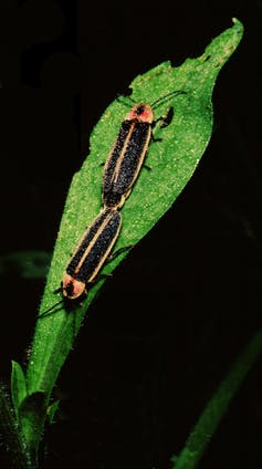 Two fireflies on a leaf, back ends touching.