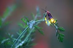 Female firefly on a stem, flashing her light.
