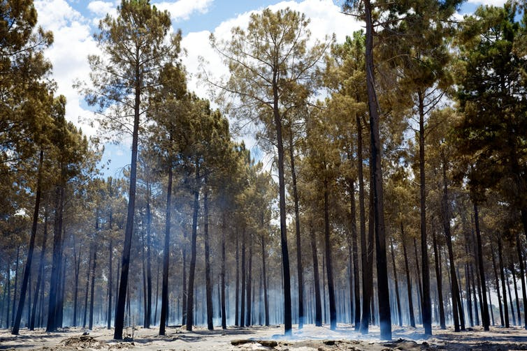 Timber plantation after fire