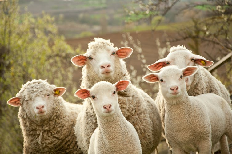 A group of sheep on a farm.