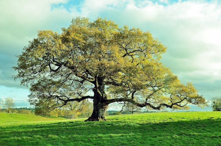 Old oak tree in meadow.