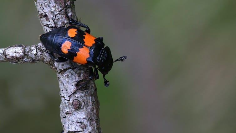 Black and orange beetle on a twig
