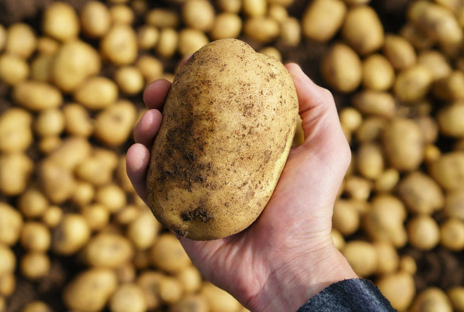 Man holding a freshly harvested potato in his hand.