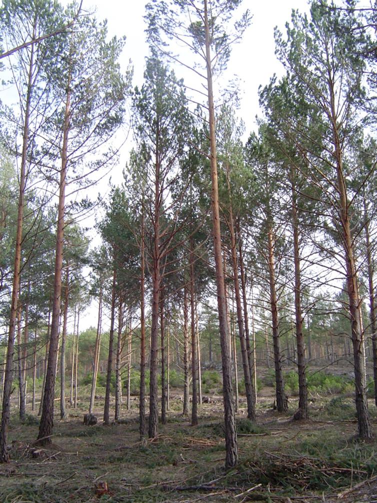 Pinos de la especie Pinus sylvestris