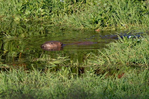 A beaver swimming at the surface of a wetland pond.