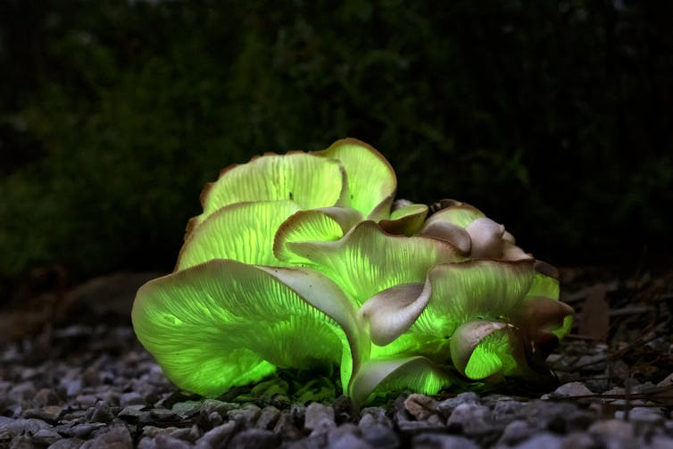 A cluster of mushrooms glow in the dark.