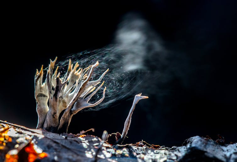 Finger shaped fungi release spores that look like smoke.