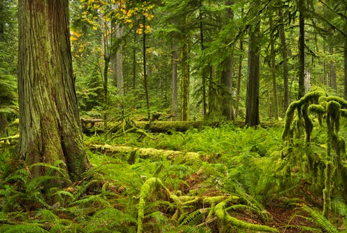 Moss covered trees in a forest in British Columbia