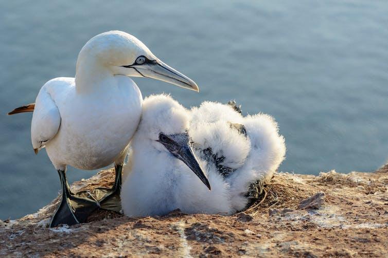 northern gannet pair with offspring