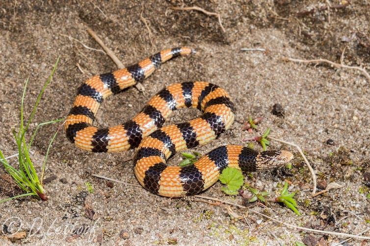 Orange and black striped snake