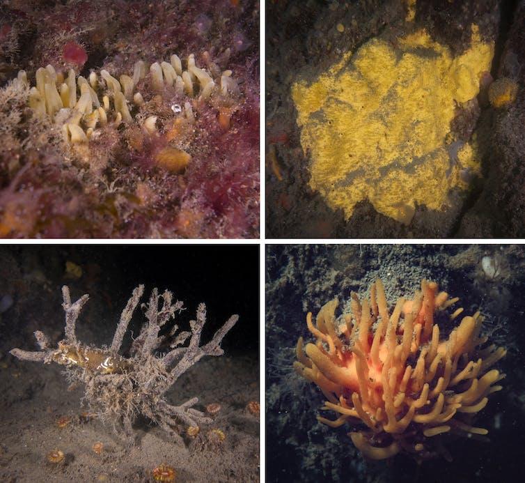 A split image of four different sponge species.