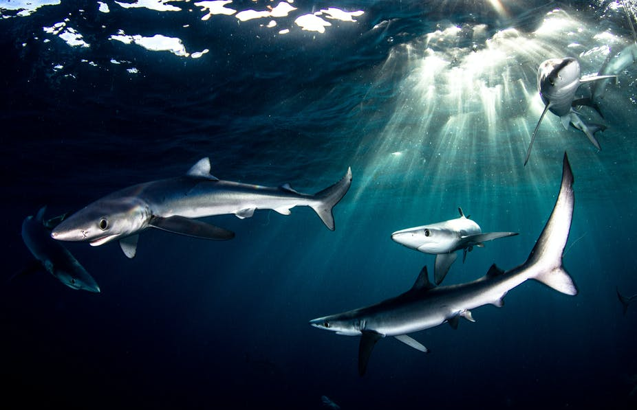 Blue sharks off of Cape Point, South Africa, with the sunlight piercing through the water.