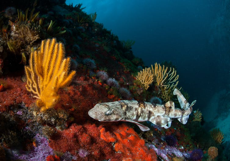 A puffadder shy shark on a reef in Table Mountain National Park Marine Protected Area.