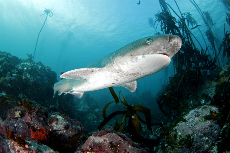 A sevengill shark swimming in the Table Mountain National Park.