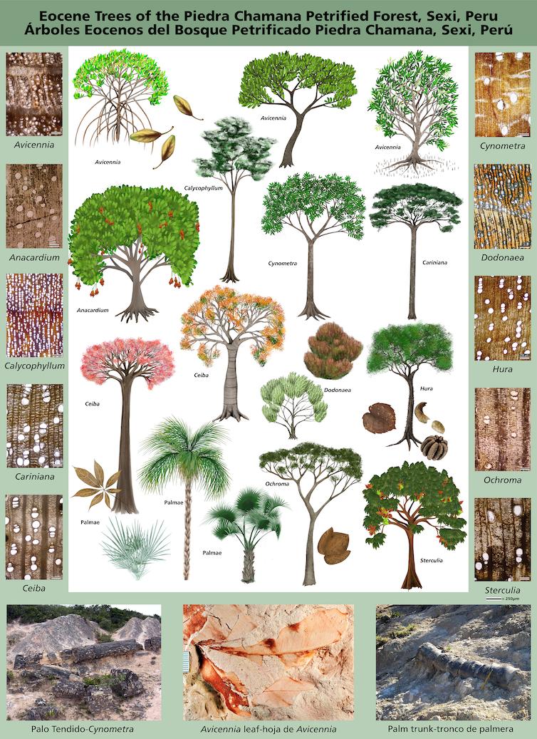 Ilustraciones artísticas de las variedades más comunes de árboles encontrados, además de secciones transversales de la madera fósil vistas bajo un microscopio