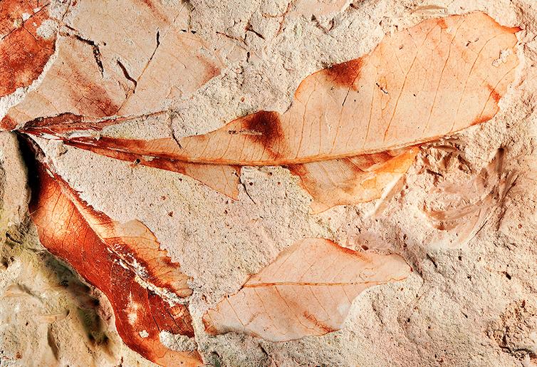 Hojas fosilizadas con claro detalle