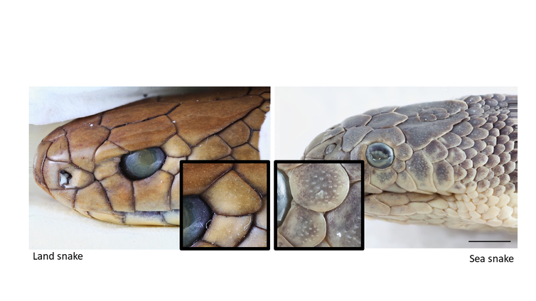 The sex life aquatic: how moving from land to water led to the surprisingly touchy courtship of sea snakes