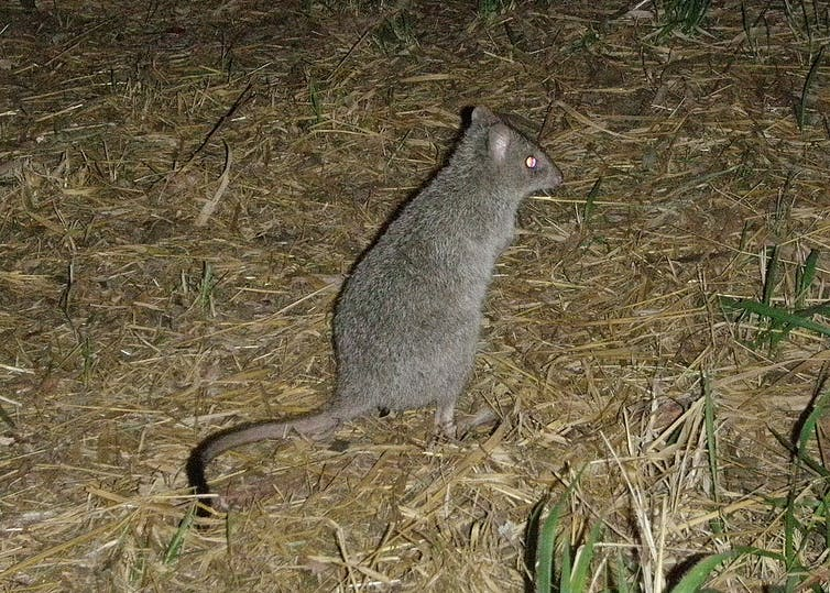 Rat kangaroo