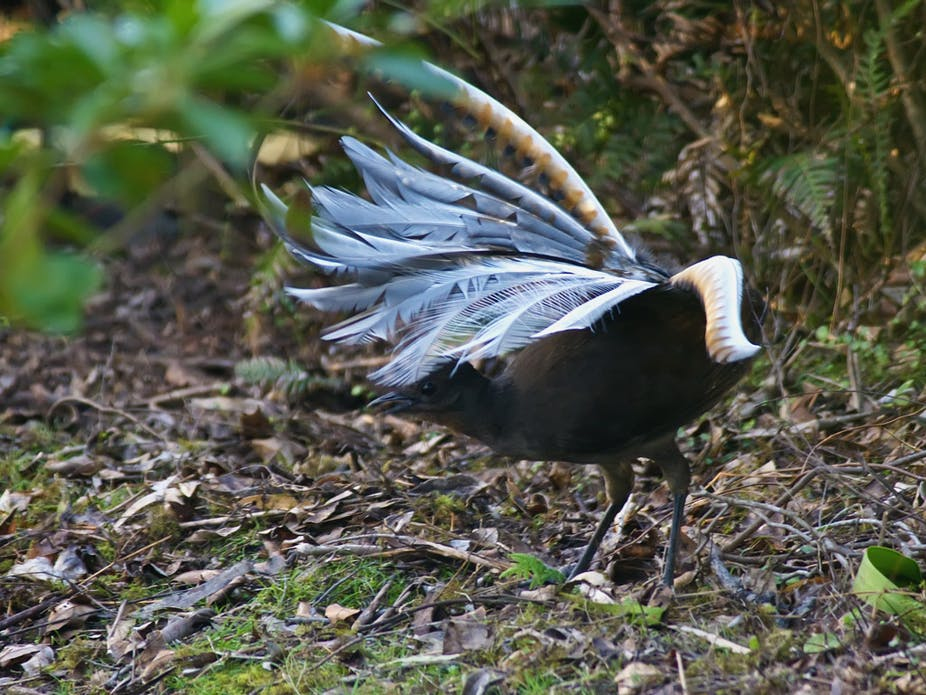 Lyre Bird: Amazing mimics chainsaw, car alarm and more - YouTube