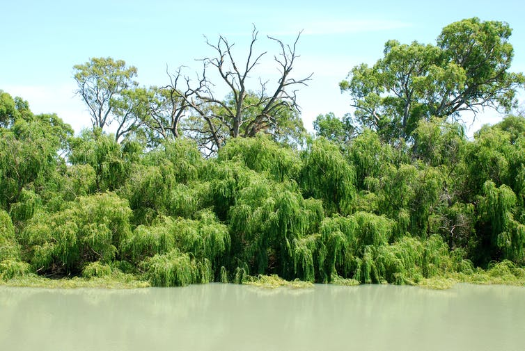 Willow trees on a river bank