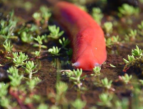 Mt Kaputar Pink Slug