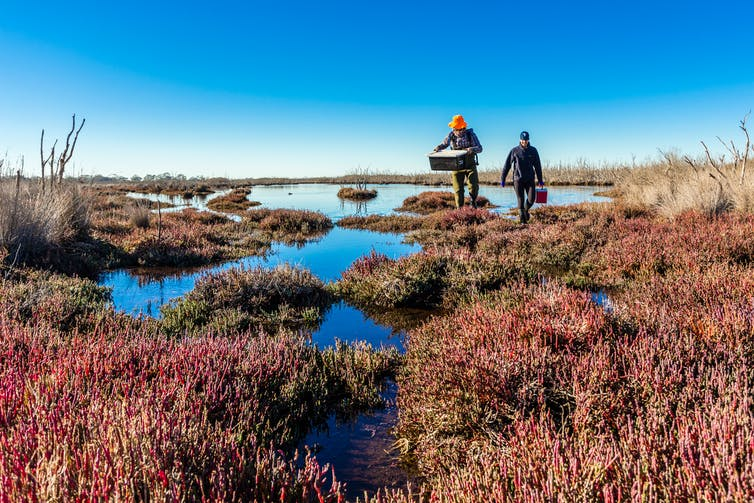 Two scientists walk through wetlands holding boxes