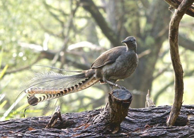Image result for lyrebird