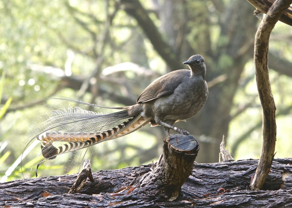 Lyrebirds mimicking chainsaws: fact or lie?