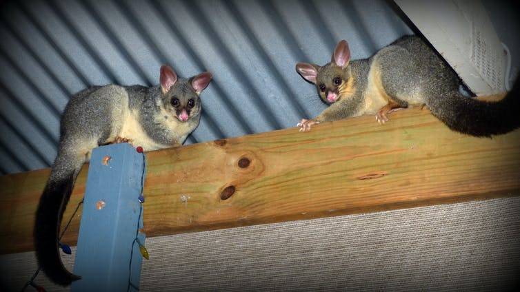Possums shelter in a roof.