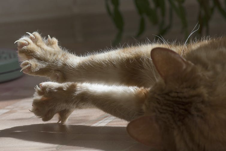 A cat stretches out its front paws, showing its claws and individual toes.