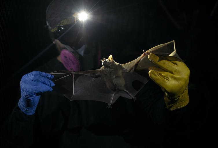 Person wearing respirator, gloves, and headlamp holding bat up to the light.