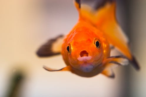 Image result for sad goldfish