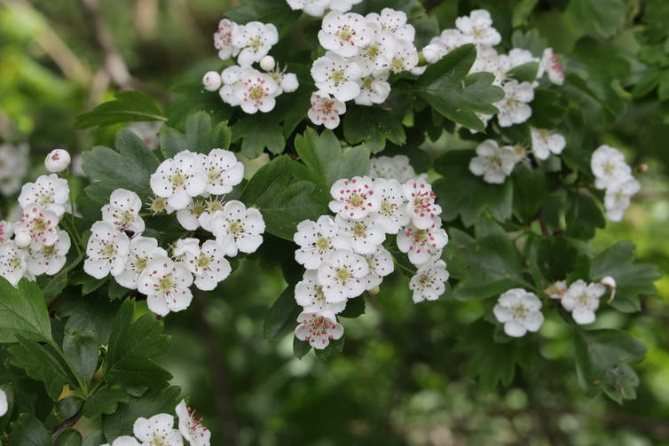 Pretty white hawthorn flowers blooming in a spring hedge.