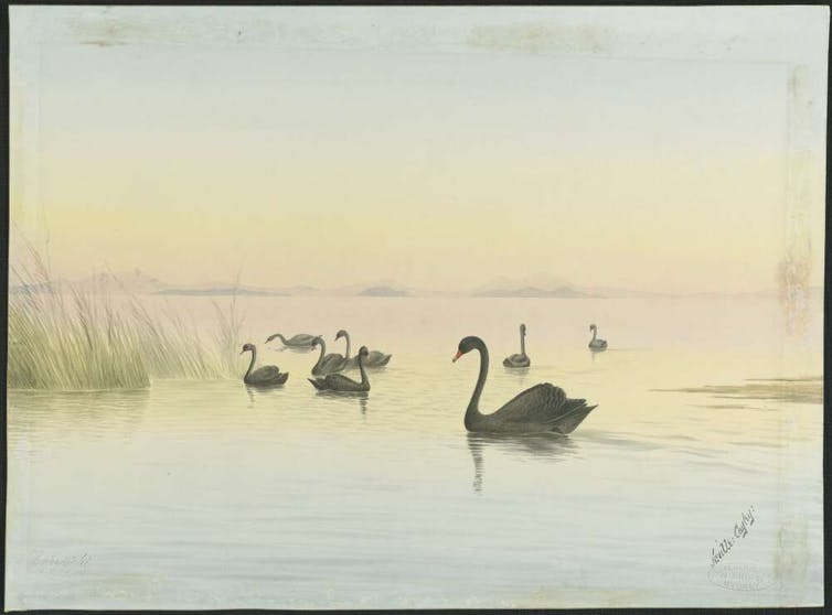 Painting of black swans