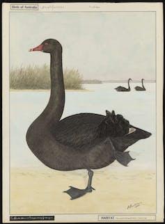 drawing of black swan