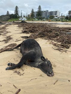 Cow washed up on beach