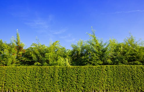 A long lush green garden hedge against a bright blue sky.