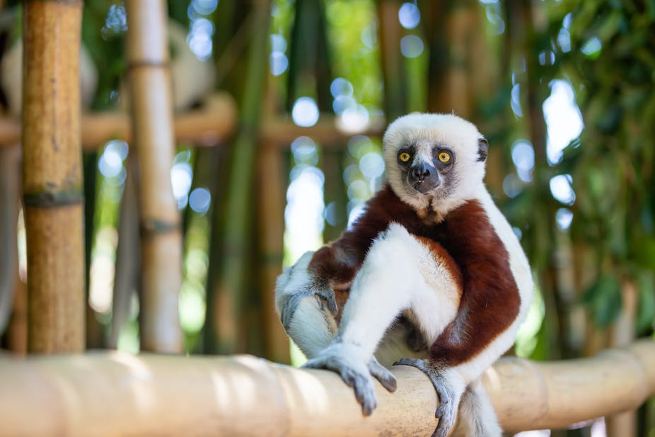 The Coquerel Sifaka in its natural environment in a Malagasy national park.