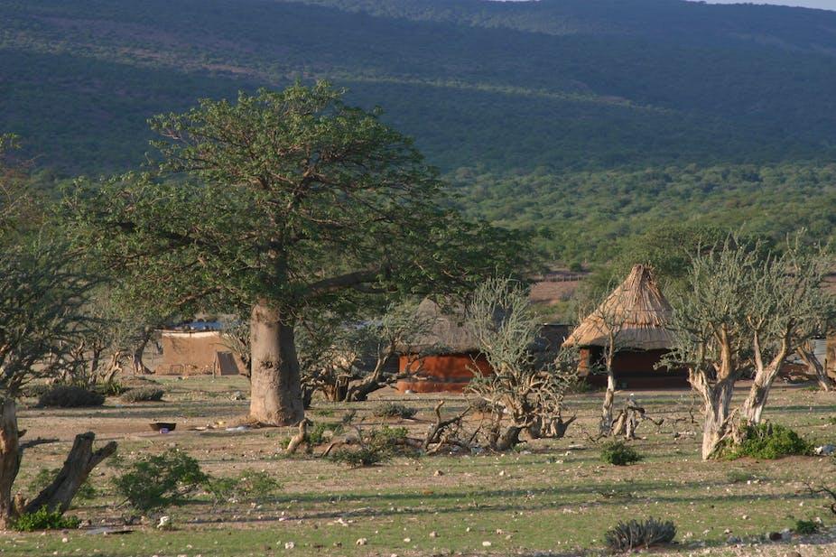 A Fig Baobab tree in a village setting.